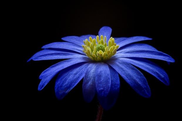 anemone-56414_960_720